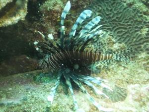 Lion Fish 2