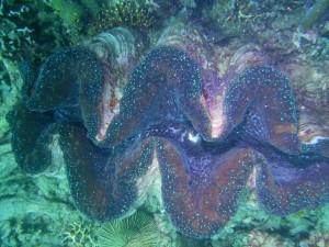 Giant Clam 1