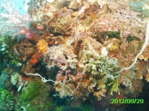 17 Heian Coral