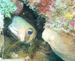 38 Smiling Puffer Fish Palau