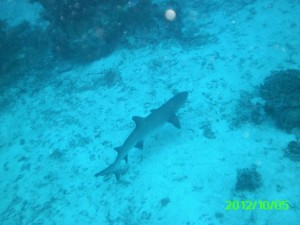 39 Reef Shark 1 Palau