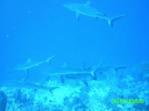 43 Shark School Palau