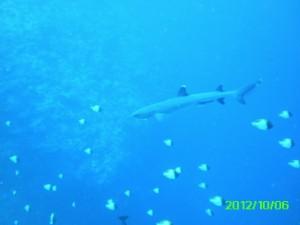 44 White Tip Reef Sharl Palau