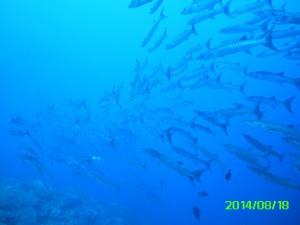 Barracuda Again 1253