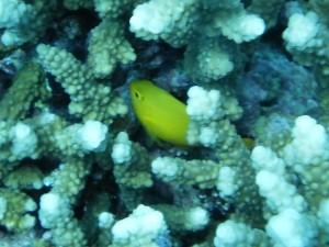 Damsel in Coral1302