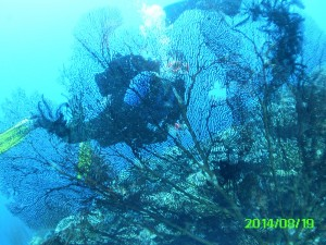Gorgonian Fan and Diver