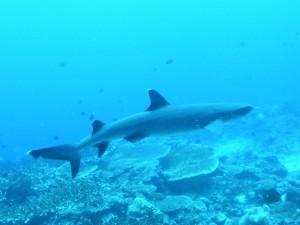 PICT0004 Reef Shark