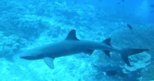 PICT0006 Reef Shark 2