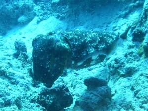 PICT0021 Cuttlefish