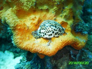 PICT1438 Cowrie